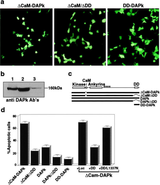 The death domain of DAP-kinase is important for its function in apoptosis. (a) Transient transfections of 293 cells with ΔCaM mutant, ΔCaM/ΔDD mutant, or with the DD-DAPk. Photographs were taken 24 h after transfection under fluorescent light microscope to visualize GFP positive cells. (b) Expression of ΔCaM and ΔCaM/ΔDD mutants in the transiently transfected 293 cells. Lane 1, expression of ΔCaM-DAPk; lane 2, expression of ΔCaM/ΔDD-DAPk; and lane 3, endogenous DAPk in cells transfected with a nonrelevant vector. Western blotting analysis was done with anti–DAP-kinase antibodies. (c) Schematic presentation of DAP-kinase mutant proteins used in these experiments. Kinase, kinase domain; CaM, calmodulin binding and regulatory domain; ankyrin, ankyrin repeats; and DD, death domain. Asterisks delineate the region that by deletion mapping was shown to be responsible for cytoskeletal binding. (d) Transfections as shown in a, with the indicated constructs or double transfections of ΔCaM mutant with the indicated constructs. The percentage of apoptotic cells was calculated as described in Materials and Methods.