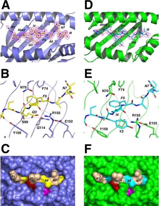 Refined structures of WT and Q600Y S598-Aba bound to H-2Kb.(A) View of the H-2Kb antigen binding cleft from above. The HC is shown as a cartoon representation and coloured slate. The peptide is in stick format with carbon atoms coloured yellow. The final 2Fo-Fc map density for the peptide contoured at 1.0 σ is shown as a magenta mesh. (B) Detail of the antigen binding cleft displaying key interactions (dashed lines) between H-2Kb and S598-Aba in the region surrounding position 3 of the peptide. Selected residues of the HC are drawn in stick format (slate carbon atoms). Peptide residues are labelled in italics. (C) Surface representation of the H-2Kb/S598-Aba complex as seen from above. Peptide residues Arg-1, Ile-4 and Asn-7 are coloured wheat. Position 3 of the peptide (Gln) is coloured red and the HC residue E-152 is purple. D, E and F, Equivalencies to A, B and C, respectively, for the H-2Kb/S598Q600Y-Aba structure. In these panels the HC is drawn in green and the peptide in cyan.