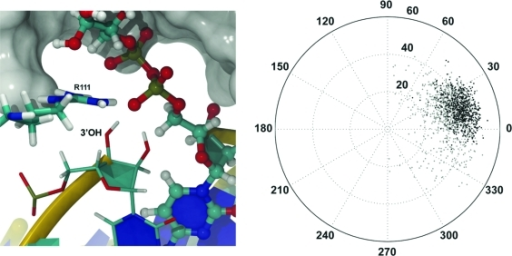 Equilibrated ribofuranose pseudorotation angle for the 3′-OH nucleotide as depicted within the active site (left panel) and in polar coordinates (right panel; equilibration data colored gray and dynamics data black).