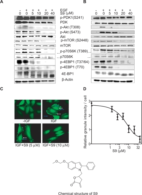 S9 inhibits PI3K-Akt-mTOR signaling.A–B), S9 depresses EGF-triggered activation of PI3K-Akt-mTOR signaling pathway. Serum-deprived Rh30 cells (A) and SK-OV-3 cells (B) were treated with indicated concentrations of S9 for 1 h followed by EGF (50 ng/ml) stimulation for 10 min. Cells were harvested for Western blot analysis with antibodies specific for p-PDK1 (S241), PDK, p-Akt (T308), p-Akt (S473), Akt, p-mTOR (Ser2448), mTOR, p-p70S6K (T389), p70S6K, p-4E-BP1(T37/64), p-4E-BP1 (T70), 4E-BP1 and actin. Arrows indicate p70 isoform of S6 kinase protein. C) S9 blocks Akt membrane translocation and membrane ruffling. CHO (pCORON1000-EGFP-Akt) cells seeded on chamber were starved for 2 h then treated with 5 or 10 µM S9 for 1 h followed by IGF stimulation for 5 min. Fluorescent pictures were captured with confocal fluorescent microscopy. White arrows indicate cell membrane ruffling. Blue arrows indicate fluorescent foci. D) Total Akt granule intensity in each CHO (pCORON1000-EGFP-Akt) cell was counted with statistic module by IN Cell Analyzer 1000. Data shown are representative from two independent experiments.