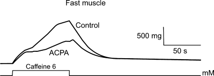 Effects of ACPA on caffeine contracture in fast muscle fibers. Experiments were done using extensor digitorum longus IV muscle. Tension evoked by caffeine shows a great reduction in the presence of ACPA (1 μM) compared to control tension