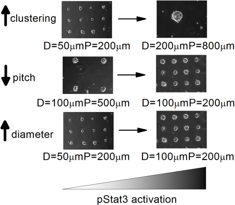 Micro-patterning mESC cultures provides spatial control over endogeneous Jak-Stat activation.Using in silico models and experimental validation, we have demonstrated that endogenous activation of the Jak-Stat pathway can be regulated spatially by micro-patterning mESC cultures. Three parameters were explored: increasing colony diameter, decreasing colony pitch, and increasing the degree of clustering.