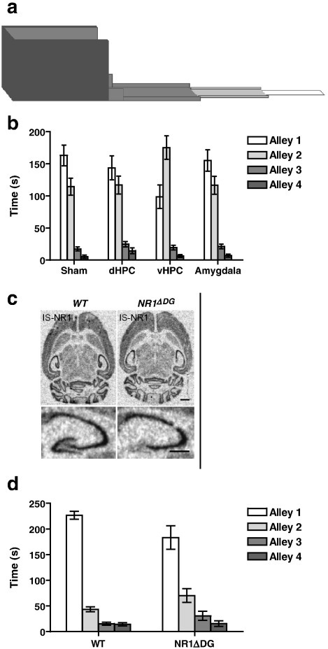 NMDA receptors in the ventral hippocampus mediate anxiety. (a) The successive alleys test of anxiety is a modified version of the elevated plus maze. The apparatus consists of four sections or alleys of increasing anxiogenic character in a linear arrangement. (b) The effects of sham, dorsal hippocampal (dHPC), ventral hippocampal (vHPC) and amygdala lesions on the successive alleys test in rats. vHPC lesioned rats were less anxious than all of the other three groups (e.g. time in Alley 2; F (3,47) = 4.0; P < 0.05, Duncan's pairwise comparisons at P < 0.05), (from McHugh et al., 2004). (c) In situ hybridisation of littermate control animals (left) and DG specific NR1 deleted mice (NR1ΔDG) (right) with NR1 specific probe. The lower panels give a zoom of the hippocampus from the respective upper panels (scale bars: 1 mm). (d) The effect of NR1 NMDA receptor subunit deletion from granule cells of the dentate gyrus on the successive alleys test in mice. NR1ΔDG mice were less anxious than wild-type littermate controls, spending comparatively more time in the more anxiogenic alleys (genotype × alley interaction — F (2,66) = 3.4; P < 0.05, simple main effects; Alley 2 — F (1,88) = 4.1; P < 0.05, Alley 3 — F (1,88) = 4.0; P = 0.05) (from Niewoehner et al., 2007; Supplementary material).