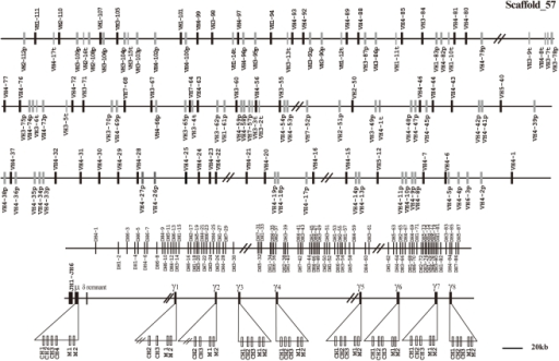 The elephant IgH locus.The elephant IgH locus is localized to scaffold 57. The length is approximately 2,974 kb from the most 5′ VH segment (VH2-112p) to the most 3′γ segment. Filled bars: potentially functional VH genes; open bars: VH pseudogenes: open bars and V-p; thin bars: truncated VH segments and V-t; DH: diversity genes; JH: joining genes; μ: IgM coding gene; δ: IgD remnant; and γ: IgG coding gene. VH and DH genes are numbered based on the families to which they belong and their positions in the locus. The number before the dash (VHn or DHn) indicates the family, while the number after dash represents the genomic position. JH genes are numbered based on the order of their locations in the locus. Double slashes indicate gaps >10 kb. Alpha and epsilon genes are not displayed on the map, but this does not imply their absence in the elephant IgH locus.