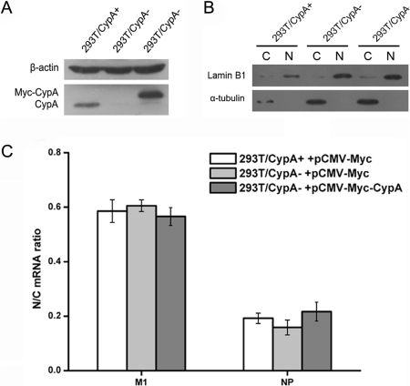 CypA did not impair the nuclear export of influenza virus mRNA.The 293T/CypA+, 293T/CypA−, and CypA re-expression 293T/CypA− cell lines were infected with A/WSN/33 (MOI = 0.1). At 4 h post-infection, the CypA expression level was analyzed by western blotting using a polyclonal anti-CypA antibody in the three cell lines. β-actin was used as a control (A). Nuclear (N) and cytoplasmic (C) components were isolated from the various cell lines. One tenth of the components were used for Western blot by anti-α-tubulin and anti-lamin B1 (B). The rest of the components were used for the RNA extraction and real time PCR (C). M1 and NP mRNA levels were quantified by real-time RT-PCR using gene-specific primers. GAPDH was quantified as an internal control. Data are means ± SD of three separate experiments.