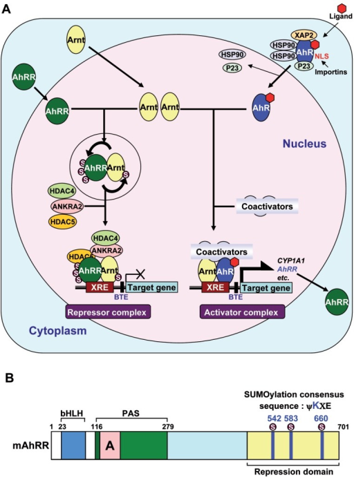 A, A schematic model for the transcriptional regulation | Open-i