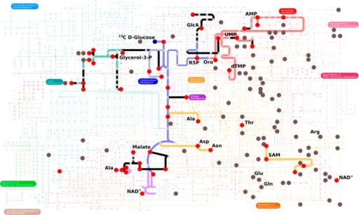 KEGG global pathway map of identified and putatively annotatedmetabolites labeled by 13C-glucose (red) and unlabeledputative metabolites arising from alternative sources (gray). Inferredpotentially active biosynthesis pathways are highlighted; black routeshave not previously been known to be active in Trypanosomabrucei. Map generated using IPath tools.30