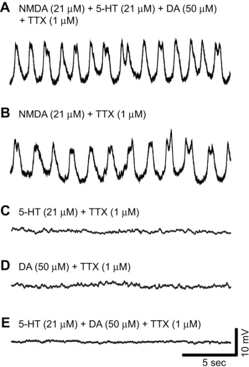 Exogenous NMDA application is sufficient to induce membrane potential oscillations in Hb9 interneurons when spike-mediated synapses are blocked with TTX. A–E,Whole-cell current-clamp recordings of membrane potential in various Hb9 interneurons under different conditions; the slow, small spikes at the tops of the oscillations are probably calcium-mediated. A, Membrane potential oscillations in the presence of a 'cocktail' of chemicals (21 μM NMDA, 21 μM 5-HT and 50 μM DA) that produces fictive locomotor-like activity in isolated whole-cord preparations. B, Exogenous NMDA application (21 μM) is sufficient to induce oscillations. C–E, Exogenous serotonin (5-HT, 21 μM) and dopamine (DA, 50 μM) application alone, or in combination, are not sufficient to induce Hb9 oscillations.
