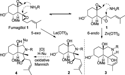 Fumagillol Bis-EpoxideOpening and Oxidative MannichStrategy