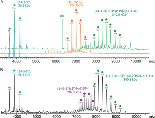 Native MS of TH-pS19 in complex with 14-3-3γ. Native MS experiments were performed on purified TH-pS19 and 14-3-3γ and on their complexes. A, overlay of native mass spectra of the 14-3-3γ dimer (blue trace), the TH-pS19 tetramer (orange trace), and the (14-3-3γ)2:(TH)4:(14-3-3γ)2 complex (green trace) formed upon mixing of TH-pS19 tetramer with 14-3-3γ at a subunit mixing ratio of 1:3. B, native mass spectrum of the TH-pS19 tetramer mixed with 14-3-3γ at a subunit mixing ratio of 1:1. When we reduced the amount of 14-3-3γ, both the (14-3-3γ)2:(TH)4 complex and the (14-3-3γ)2:(TH)4:(14-3-3γ)2 complex were detected together with the free 14-3-3γ dimer.