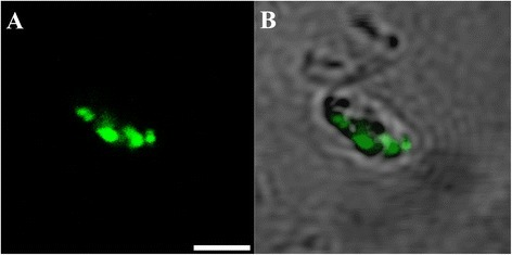 Cryptosporidiumgamont-like cell identified within 6 day-oldCryptosporidium-exposed biofilms. (A) Confocal image; (B) Superimposed confocal and brightfield images. Scale bars = 2.5 μm.