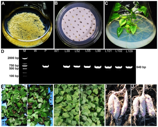 Production of transgenic sweetpotato plants overexpressing the IbMas gene.(A) Embryogenic suspension cultures rapidly proliferating in MS medium containing 2.0 mg L−1 2,4-D. (B) PPT-resistant calluses formed on MS medium with 2.0 mg L−1 2,4-D, 100 mg L−1 Carb and 0.8 mg L−1 PPT after 8 weeks of selection. (C) Regeneration of plantlets from PPT-resistant calluses on MS medium with 1.0 mg L−1 ABA, 100 mg L−1 Carb and 0.8 mg L−1 PPT. (D) PCR analysis of transgenic plants. Lane M: DL2000 DNA marker; Lane W: water as negative control; Lane P: plasmid pCAMBIA3301-IbMas as positive control; Lane WT: wild-type as negative control; Lanes L39, L52, L55, L99, L101, L102 and L109: transgenic plants. (E) and (F) WT and transgenic plants grown in a greenhouse, respectively. (G) and (H) WT and transgenic plants grown in a field, respectively. (I) and (J) Storage roots of WT and transgenic plants, respectively.