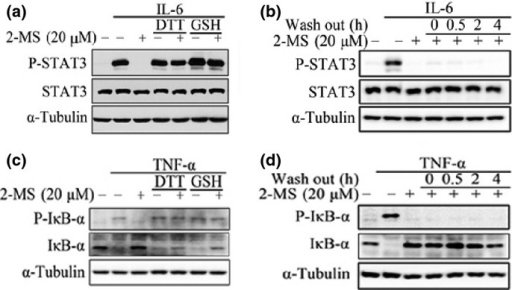 Effects of 2-methoxystypandrone (2-MS) on signal transducer and activator of transcription 3 (STAT3) and NF-κB signaling can be abolished by DTT or GSH treatment and were irreversible. (a) 20 μM 2-MS were incubated with or without 500 μM DTT or GSH at 37°C for 1 h before being added to HeLa cells for 2 h, followed by stimulation with interleukin-6 (IL-6) (30 ng/mL) for 15 min. Whole cell lysates were processed for western blot analysis and probed with anti-P-STAT3 (Y705) antibodies. Anti-STAT3 and anti-α-Tubulin antibodies were used as loading controls. (b) HeLa cells were pretreated with 20 μM 2-MS for 2 h and then washed with fresh medium for three times. After the indicated time periods, the cells were stimulated with IL-6 (30 ng/mL) for 15 min. Whole cell lysates were processed for western blot analysis. (c) 20 μM 2-MS were incubated with or without 500 μM DTT or GSH at 37°C for 1 h before being added to HeLa cells for 2 h, followed by stimulation with tumor necrosis factor-α (TNF-α) (2 ng/mL) for 15 min. Whole cell lysates were subjected to western blot analysis and probed with anti-P-IκB-α (Ser32/36) and anti-IκB-α antibodies. Anti-α-Tubulin antibodies were used as a loading control. (d) HeLa cells were pretreated with 20 μM 2-MS for 2 h and then washed with fresh medium three times. After the indicated time periods, the cells were stimulated with TNF-α (2 ng/mL) for 15 min. Whole cell lysates were processed for western blot analysis.