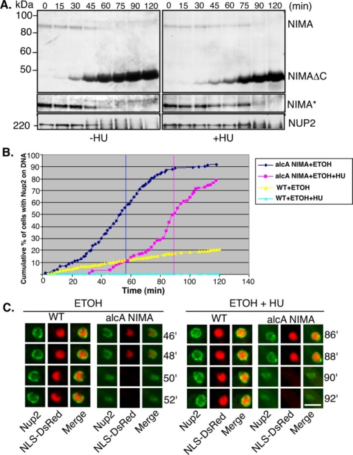 Induction of NIMA promotes phosphorylation and relocation of Nup2 from NPCs to the chromatin region even in S phase–arrested cells. (A) Western blot analysis of A. nidulans total cell extracts from strain SO1030 (alcA-NIMA) showing an upshift in Nup2 and endogenous NIMA upon induction of stable NIMA (NIMA-ΔC). NIMA*, endogenous NIMA at a higher exposure, showing its upshift upon induction of ectopic NIMA. (B) Cumulative timing of Nup2 transition from NPCs to the chromatin region upon induction of stable NIMA in the presence or absence of HU as indicated (wild-type strain HA377 and alcA-NIMA strain SO1030). (C) Representative images from live-cell microscopy following Nup2-GFP and NLS-DsRed with or without induction of NIMA as indicated, using strains HA377 and SO1030. Bar, ∼5 μm.