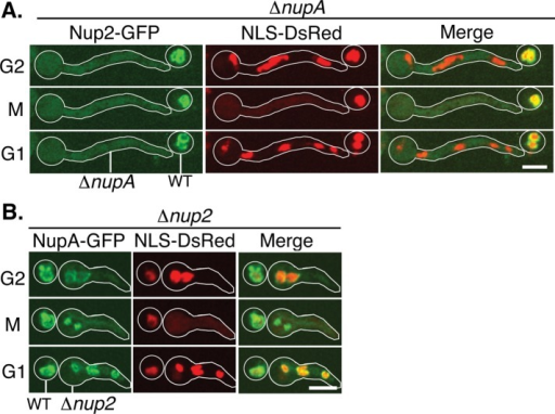 NupA is required for Nup2 location to interphase NPCs and to the mitotic chromatin region. (A, B) Time-lapse images of Nup2-GFP or NupA-GFP and NLS-DsRed and a merge in ∆nupA (from heterokaryon SM79) and ∆nup2 (from heterokaryon SM92) germlings, respectively, (outlined in white) in G2, M (mitosis), and G1. Also outlined are parental spores within the same field of view that cannot germinate in the selective media used. (A) In the absence of NupA, Nup2 can locate to neither interphase NPCs nor the mitotic chromatin region. (B) Conversely, in the absence of Nup2, NupA can still locate to interphase NPCs and the mitotic chromatin region. Bar, ∼5 μm.