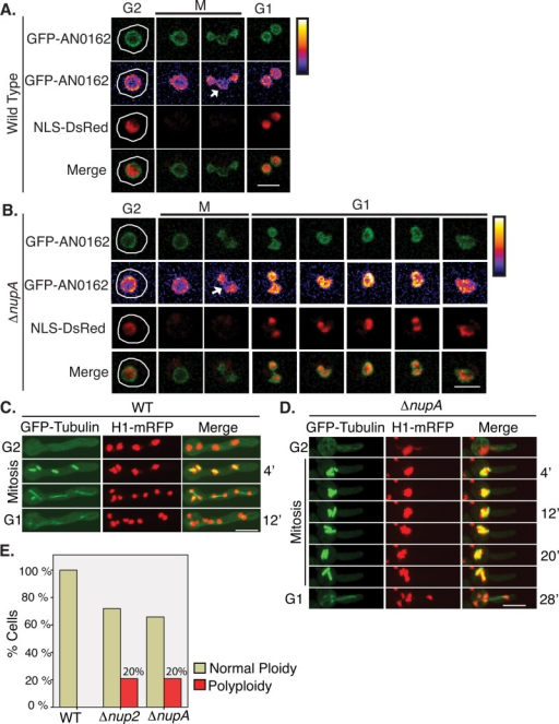 nup2- and nupA- mutants display defects in mitotic exit. (A) Images captured during live-cell imaging of wild-type (SM116) and (B) nupA- (ΔnupA, from heterokaryon SM127) strains during mitosis, monitoring the INM marker GFP-AN0162 and NLS-DsRed. Without NupA function, the nucleus fails to complete karyokinesis and forms one polyploid nucleus after mitosis. GFP-AN0162 does not locate to the periphery of the nucleolus after anaphase as obviously as the wild type (compare structures at arrows). Pseudocoloring represents false coloring using the thermal color scale of ImageJ. The Fire Color lookup table was applied to grayscale images to produce false-color images (pixels with a value of 0 are white, and pixels with a value of 255 are black). Bar, ∼2.5 μm. (C) Mitosis of a wild type (strain HA375) following spindle and chromatin dynamics of four mitotic nuclei. Bar, ∼5 μm. (D) A mitotic depolyploidization event in a nupA- mutant (from heterokaryon SM98) showing multiple bipolar spindles forming in a polyploid nucleus that remains in an extended metaphase-like state before exiting mitosis. Bar, ∼5 μm. (E) Quantitation of the percentage of larger polyploid nuclei generated in wild-type (strain HA375) compared with nup2- and nupA- cells (heterokaryons SM96 and SM98, respectively).