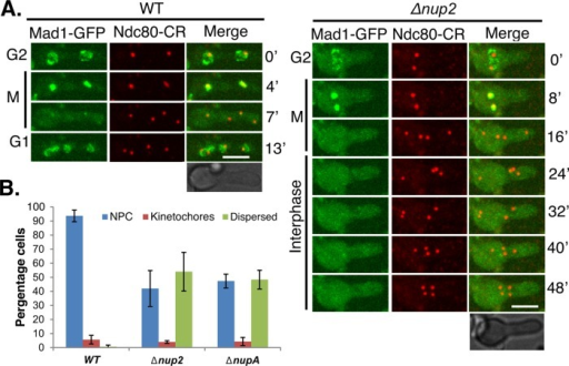 Nup2 and NupA affect the postmitotic nuclear import of Mad1. (A) Time-lapse microscopy of Mad1-GFP and the kinetochore marker Ndc80-ChRFP in wild-type (strain CDS578) and Δnup2 cells (heterokaryon SM152), showing that in the absence of Nup2, the mitotic location of Mad1 to kinetochores remains unaffected, but the nuclear import of Mad1 in G1 is impaired. Bar, ∼5 μm. (B) Quantification of the mislocalization of Mad1 in asynchronously growing wild-type, Δnup2, and ΔnupA cells.