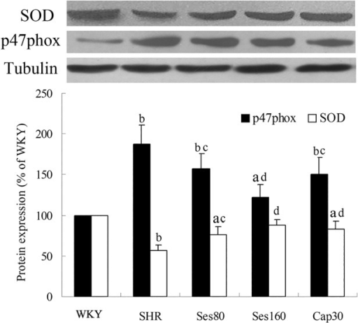 Effect of sesamin on protein expression of SOD and p47phox.After supplementation with sesamin or captopril for 12 weeks, total protein were extracted from left ventricular tissues and subjected to western blot analysis as detailed in the Methods section. Levels of SOD and p47phox protein were normalized to that of tubulin. Data were presented as percentage of that in WKY rats (mean±SD, n = 4). a P <0.05, b P <0.01 vs. WKY group; c P <0.05, d P <0.01 vs. SHR group.