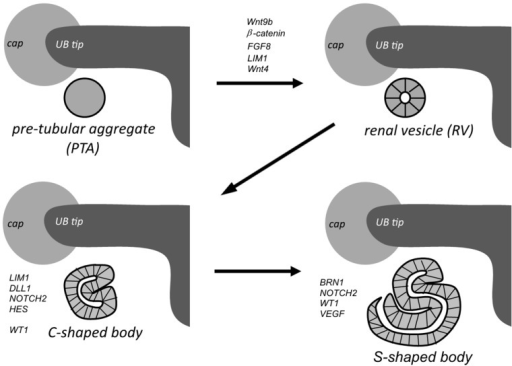 Kidney development stages. Top left: Stem/progenitor cells in the UB interact with the adjacent cap mesenchyme (CM) to form pre-tubular aggregates (PTA) just beneath the tip of the UB and differentiate into the renal vesicle (RV) (top right). Newly formed RVs undergo polarization and elongation to form Comma- (bottom left) and S-shaped (bottom right) bodies; the latter fuse with the UB tip epithelium to form the nephron.