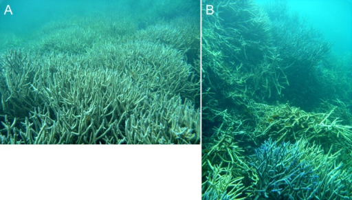 Dense in-situ (A) and collapsed (B) Acropora colonies on a stellate reef in the Pelsaert Group lagoon.