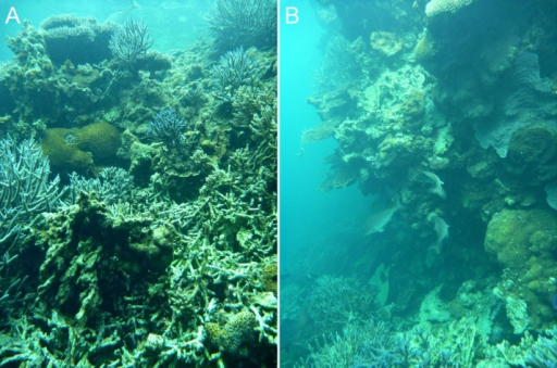 Inferred early (A) and late (B) stages of reef wall development in the Pelsaert Group lagoon.The walls appear to initiate through the colonisation of dead Acropora branches by massive and encrusting corals (A), and subsequently grow to become vertical or overhanging (B).