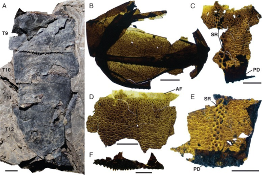 Pentecopterus decorahensis, metasomal tergites. a SUI 139955, tergites 9–12. b SUI 139976, tergites 8–9 showing dentate posterior margin. c SUI 139971, fragment displaying enlarged guttalate scale rows and posterior doublure with serrations. d SUI 140004, ventral cuticle with smooth articulating facet. e SUI 139974, cuticle showing central scale rows and posterior doublure. f SUI 140002, posterior margin of tergite with serrations. T9–T12 = tergites 9–12, AF = articulating facet, PD = posterior doublure, PD = posterior doublure, SR = scale row. Scale bars = 10 mm
