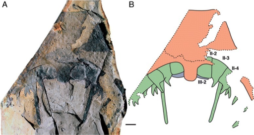 Pentecopterus decorahensis, SUI 139941 (holotype) - rostrum and linguoid posterior projection underlain by left and right prosomal appendages II and III. a Specimen. b Interpretive drawing: red = ventral plate, green = appendage II, and blue = appendage III, II-2–II-4 = appendage II podomeres 2–4, III-2 = appendage III podomere 2. The coxa are angled anteriorly and covered by the ventral plate, which can be peeled back to reveal their position. Scale bar = 10 mm