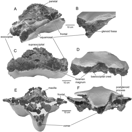 The skull of Tranatocetus argillarius, MGUH VP 2319.A, B, lateral view; C, D, anterior view; E, F, posterior view.
