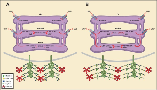 Model of an inherent Golgi self-correcting mechanism to maintain LacNAc homeostasis.The majority of UDP-GlcNAc entering the Golgi is supplied to its early compartments by the UDP-GlcNAc/UMP antiporters, which are preferentially localized to the cis/medial Golgi. Under branching proficient conditions (A), UDP-GlcNAc is used by the branching enzymes MGAT1, 2, 4, and 5, with little unused UDP-GlcNAc supplying the poly-LacNAc synthesizing B3GNT enzymes. The resulting array of N-glycans produced thus contains more LacNAc branches than linear LacNAc polymers (A). When the branching pathway is disrupted (B), or presumably the Golgi is otherwise stressed, leading to reduced UDP-GlcNAc usage in the medial Golgi, UDP-GlcNAc is driven forward (at least partially through intercisternal tubules) and promotes production of bioequivalent poly-LacNAc containing glycans by the trans Golgi-resident B3GNT family of enzymes. Under this scenario, loss of LacNAc branches is balanced by increased production of linear LacNAc polymers, a self-correcting ability that serves to maintain cell surface LacNAc density and thus the galectin-glycoprotein lattice (A). In the context of T cells, this homeostatic mechanism acts to curtail catastrophic T cell hyperactivity and promotes self-tolerance.DOI:http://dx.doi.org/10.7554/eLife.14814.019