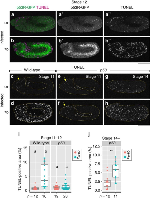 p53-dependent apoptosis in Spiroplasma-infected male embryos.(a) p53R-GFP expression (green) and TUNEL staining (magenta) in an infected female embryo at stage 12 (n=12). Single-channel images are shown in a′ and a′′. (b) An image similar to a of an infected male embryo (n=10), wherein high p53 activity and massive apoptosis are seen. Single-channel images are shown in b′ and b′′. (c,d) TUNEL staining of infected female and male wild-type embryos at stage 11. The yellow arrow denotes developmental apoptosis in the head region. (e,f) Images similar to c,d of infected female and male embryos mutant for p53. (g,h) TUNEL staining of infected female and male embryos mutant for p53 at stage 14. In c–h, the edges of embryonic epidermis are depicted by dashed yellow lines. (i) Quantification of TUNEL-positive areas in infected female and male embryos, wild type and mutant for p53 at stage 11–12. Different letters (a,b) indicate statistically significant differences (P<0.01; Kruskal–Wallis test followed by Mann–Whitney U-tests). (j) Quantification of TUNEL-positive areas in infected female and male embryos mutant for p53 at stage 14 onward. Asterisks indicate a statistically significant difference (**, P<0.01; Mann–Whitney U-test). In i and j, box plots indicate the median (bold line), the 25th and 75th percentiles (box edges), and the range (whiskers). Sample sizes are shown at the bottom. Scale bars, 100 μm.