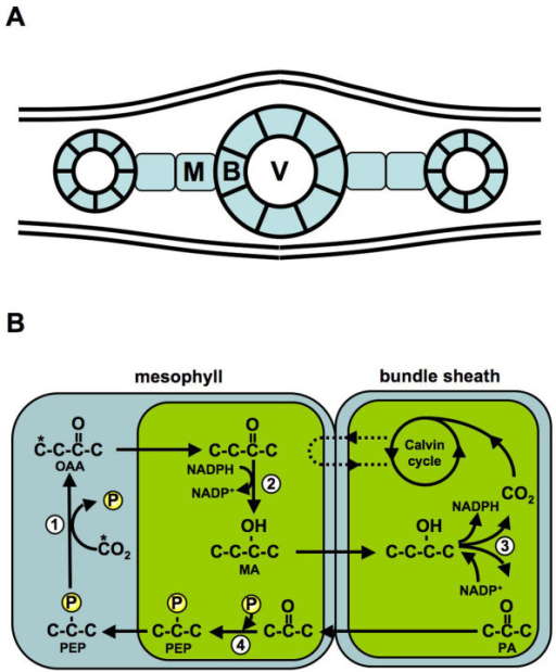 C4 photosynthesis in the maize (Zea mays) leaf. A. Sche | Open-i