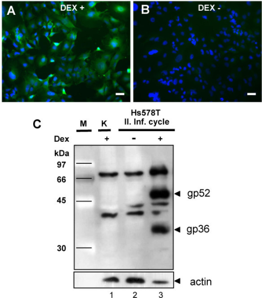 Detection of expression of MMTV proteins in the infected human cells. (A and B) Infected Hs578T cells were cultured for 5 weeks in the presence of 10-6 M DEX. One week before immunofluorescence staining the cells were cultivated in the absence of the glucocorticoid analog and 24 h prior immunofluorescence staining with anti-CA antibodies the production of MMTV-specific proteins was either induced (A) or not (B) by addition of 10-6 M DEX in the cell culture media. The nuclei of the cells were counterstained with DAPI. (C) Western blot detecting the expression of gp52 and gp36 Env proteins in the second-round infected HS578T cells. Lane 1, non-infected Hs578T cells, NC; lane 2, infected human cells not stimulated with DEX; lane 3, infected human cells in which the expression of MMTV structural proteins was induced by 10-6 M DEX 24 h before protein harvest.
