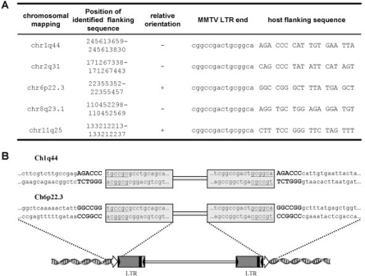 Virus-host junction sequences. (A) The junctions detected by LM-PCR in Hs578T cells infected with MMTV(GR). Terminal sequence of MMTV LTR (small letters) and 18 nucleotides of host flanking sequence (capital letters) are shown. Determined host sequence was mapped using a BLAT search at the UCSC Genome Bioinformatics group web page. The exact position of the host sequence amplified in LM-PCR on the chromosome is numbered according to Human Mar. 2006 (hg18) assembly. (B) Duplications of 6 bp long host provirus flanking sequences were determined. MMTV proviral sequences are boxed, inverted repeats at the end of LTRs are underlined. Duplications of host flanking sequences are indicated by large bold letters. Schematic diagram of an integrated MMTV provirus is shown below. Direct repeats of the host sequence are indicated by open arrows. Inverted repeats terminating the LTR are shown as inverted solid triangles.