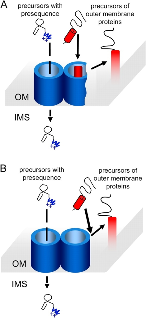 Is there a lateral opening of the TOM channel? (A) According to the lateral opening model, the precursor of outer membrane (OM) protein is inserted first into the lumen of the TOM channel. Next, there is a lateral opening of the translocation pore to release the TM segment to the lipid bilayer. (B) In this alternative model, the precursor interacts with the exposed domain of Tom40 and inserts into the interface between the outer face of the complex and the lipid bilayer. IMS, intermembrane space.