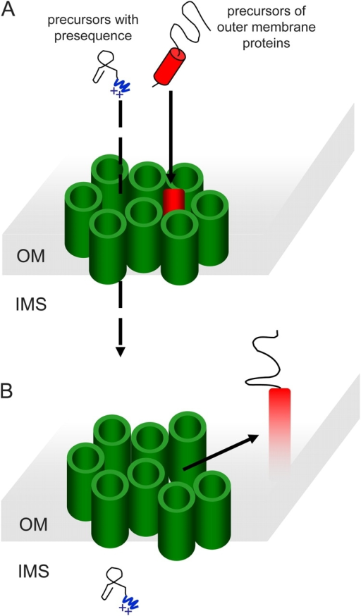 A working model in which the two pores are surrounded by β-barrel structures. The TOM complex might contain eight molecules of Tom40. Each of these monomers is in a β-barrel topology, and they are organized in a double-ring structure in which two pores are each surrounded by five Tom40 molecules. Each green cylinder represents one molecule of Tom40. (A) The precursor of outer membrane (OM) protein is inserted first into one of these central pores. (B) Next, there is a rearrangement of the oligomeric structure, resulting in an opening between the subunits, which allows release of the αTM segment to the lipid bilayer. IMS, intermembrane space.