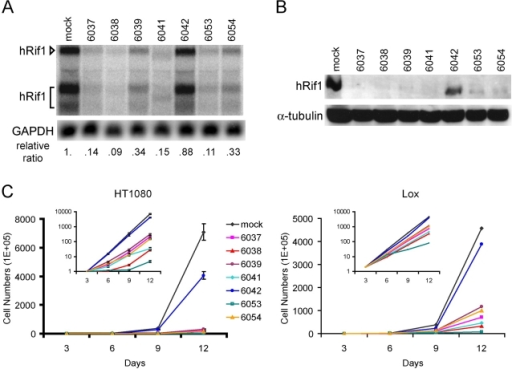 Impaired cell growth upon depletion of hRif1. (A) Knockdown of hRif1 mRNA levels by siRNA treatment. LOX cells were infected with lentiviruses expressing hairpin siRNAs against different sequences within the protein coding region of hRif1 mRNA. 2 d after infection, 40 μg of total RNA from each cell line was hybridized with hRif1 or GAPDH probes. Relative hRif1 levels were determined by ImageQuant software using GAPDH as the loading control. (B) Depletion of hRif1 protein levels by siRNA. 50 μg of whole cell extracts from each cell line were probed with PAB2857 and α-tubulin antibodies. siRNA treatment was performed as described in A. (C) hRif1 depletion leads to cell growth inhibition in HT1080 and LOX cells. HT1080 cells and LOX cells were infected with lentiviral siRNA constructs at >95% efficiencies, as indicated by a GFP expressed from the same lentiviral vector. Cell numbers were counted every 3 d after infection and cell counts are shown as mean ± SD of plates analyzed in triplicate.