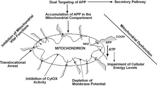 A proposed model for the mitochondrial targeting and accumulation of transmembrane- arrested APP affecting mitochondrial functions.
