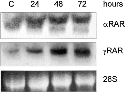 Expression of RA receptors in RCS cells. Cells were induced with 10−6 M RA for the times indicated, and total RNA was analyzed by Northern blot with specific probes for αRAR and γRAR.