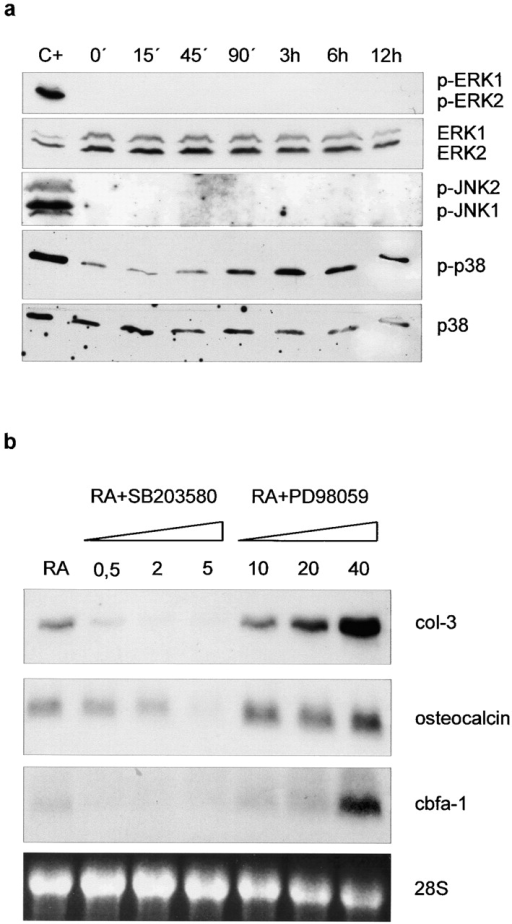 Implication of p38 MAPK in collagenase-3 induction by RA. (a) RCS cells were treated with 10−6 M RA for the times indicated. Cells were lysed, and protein extracts were analyzed by Western blot. The levels of activated ERK1/2, JNK1/2, and p38 were determined using phosphospecific antibodies for the corresponding MAPKs (p-ERK1/2, p-JNK1/2, p-p38). As controls, levels of total ERK1/2 and p38 were determined with specific antibodies. Cell lysates from HaCaT cells treated for 20 min with 10−7 M TPA or 20 ng/ml TNF-α were used as positive controls for activated ERK1/2 or JNK1/2 and p38, respectively. (b) Increasing amounts of p38 inhibitor SB 203580 or ERK1/2 inhibitor PD 98059 (μg/μl) were added to the culture medium 1 h before inducing RCS cells with 10−6 M RA. Total RNA was extracted, and collagenase-3 transcripts were detected by Northern blot. The same filter was subsequently hybridized with probes specific for Cbfa1 and osteocalcin.