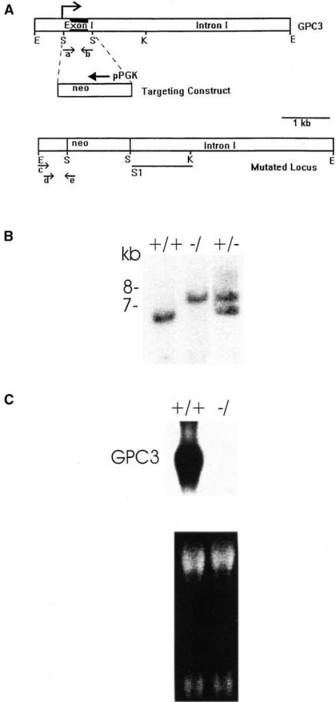 Gene targeting of the murine Gpc3 locus. (A) A 6.5-kb EcoRI fragment of the murine Gpc3 locus is shown (top). The SmaI fragment containing the promoter, the transcription start site (arrow), exon 1, and part of intron 1 is indicated. An EcoRI/Bg1II fragment containing the neo cassette, a neomycin gene with a PGK promoter, driving expression in the antisense direction, is shown in the middle. The mutated locus with the neo cassette replacing the SmaI fragment is shown below. Restriction enzyme sites are as follows: E, EcoRI; K, KpnI; S, SmaI. The probe (S1) hybridized to the 6.5-kb wild-type and 7.5-kb targeted allele fragments, as expected. PCR primer sites and orientation within the native and disrupted loci are indicated: a, PCRL3; b, PCR5; c, PCR2; d, PCRL2; and e, neo. (B) Southern blot analysis of EcoRI-digested genomic DNA extracted from tail biopsies of wild-type, heterozygous, and hemizygous mutant offspring (+/+, +/−, and −/, respectively). (C) Top, Northern blot analysis of GPC3 in wild-type (+/+) and (−/) E18.5 embryos. 10 μg total RNA was probed with a 2.2-kb full-length Gpc3 cDNA. Bottom, ethidium bromide staining demonstrates equal loading.