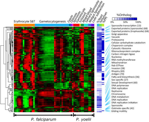 "Temporal expression patterns were constructed from 54 P. falciparum and P. yoelii life cycle samples.A total of 156 statistically enriched gene clusters identified by OPI analysis illustrates the transcription regulation characteristics of all key biological processes in Plasmodium species. Their yeast and human orthologs contents are represented by the white-blue heatmap, indicating parasite-specific processes generally found fewer orthologs in model organisms. The percentage of proteins that form statistically significant within-cluster networks are also white-blue color coded; most networks occur in blood stage processes. Altogether 33 manuscripts were identified with significant overlap to the clusters, nine of which [13], [27], [28], [36], [42], [60], [68], [69], [70] are referenced in the figure. Two clusters were enriched for proteins predicted to have a parasite export signal [68] and were labeled as ""Exported proteins (sporozoite)"" and ""Exported proteins (trophozoite)""—one of which peaks in the trophozoite stage and a second which peaks in sporozoite stages (see GO:PM15591202_Trp and GO:PM15591202_Spo in Table S1-S2). S & T indicate that the P. falciparum parasites were synchronized within the asexual cycle by the thermocycling or sorbitol method [9]. The figure does not comprehensively describe all gene expression patterns contained within the data as there are ∼1,026 genes which are not found in any of the groups depicted here because they do not share expression patterns with a sufficient number of previously characterized genes."
