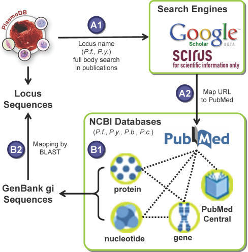 An automatic pipeline for malaria literature mining.Approach A, full text search by literature search engines: A1) All P. falciparum and P. yoelii locus names were downloaded from PlasmoDB and searched against Google Scholar and SCIRUS one at a time; A2) URL hits were then mapped to PubMed entries. Approach B, NCBI database mining: B1) Mapping between GenBank sequence entries and PubMed entries were systematically retrieved from NCBI for four Plasmodium species; B2) Sequences were mapped to malaria locus names by BLAST alignment. The pipeline resulted in 6,428 functional associations between 3,262 malaria proteins and 1,278 PubMed papers.