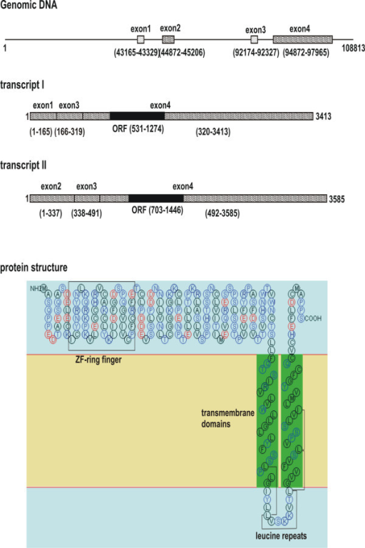 A schematic representation of the human RNF182 gene, transcript and protein structures. Solid lines refer to introns or non-transcribed genomic DNA. Hatched bars represent exons. The RNF182 gene (GenBank AL138718) contains four exons. The open reading frame (black bar) and 3' untranslated region of both transcripts are solely encoded by exon 4. Structural motifs of the encoded protein were predicted by ExPASy tools.