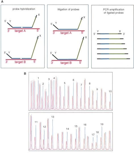 (A) Multiplex Ligation-dependent Probe Amplification (MLPA). Denatured genomic DNA (50–500 ng) is hybridised with a mixture of 42 probes. Each MLPA probe consists of two oligonucleotides. The two parts of each probe hybridise to adjacent target sequences and are ligated by a thermostable ligase. All probe ligation products are amplified simultaneously by PCR using a single primer pair. The amplification product of each probe has a unique length (130–472 bp). Amplification products are separated by capillary electrophoresis (ABI model 310 or ABI 3700). Relative amounts of probe amplification products reflect the relative copy number of target sequences. (B) Deletion of the entire MLH1 gene detected by MLPA. Normalised MLPA peak pattern from the index patient of family C149 (red) and from control DNA (blue) plotted in one figure for easy comparison. MLH1 peaks are labelled with their exon numbers. Unlabelled peaks represent MSH2 exons and control genes.
