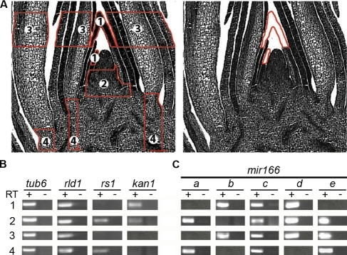mir166 family members exhibit distinct overlapping expression profiles in the maize shoot apex.(A) Longitudinal sections through a maize apex diagramming regions captured by laser-microdissection (left panel): 1) P2–P3 leaf primordia; 2) the incipient (P0) and P1 leaf primordia plus the base of the SAM; 3) P4–P6 leaf primordia; 4) stem tissue. The right panel shows a longitudinal section of an apex after capturing cells from the P2 and P3 leaf primordia. Note the precision with which cells are captured. (B) Transcript accumulation of tub6, rld1, rs1 and kan1 in these regions is as previously reported [7], [22]–[23], illustrating the accuracy of laser-microdissection. (C) RT-PCR analysis of mir166a to mir166e shows that these mir166 family members exhibit distinct but overlapping expression profiles within the vegetative apex. -RT controls are also shown.