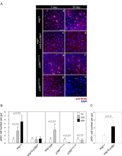 Effect of D-p38b MAPK signaling on DNA synthesis of intestinal cells and ISC division.                                                (A) Effects of D-p38b MAPK modulation on BrdU incorporation levels                                                in the adult midgut. Twenty-five day-old flies expressing esg>+ (a                                                and b), esg>UAS-D-p38bas(c and b), p38bEY11174                                                                (e and f) or p38bKG01337 (g and h) were fed on                                                0.2 mg/ml BrdU media for 4 days, and stained with anti-BrdU. Overlay (DAPI,                                                blue; anti-BrdU, red). Asterisk indicates enlarged EC nuclei. Arrow                                                indicates small ISC, EB or EE cell nuclei. Scale bar, 5 μM. Original                                                magnification is 400x. (B) Effect of D-p38b MAPK activity on the                                                number of PH3-positive cells within the adult gut. Number of PH3-positive                                                cells detected per midgut of 5-, 30- and 60-day-old esg>+ or                                                        esg>UAS-D-p38bas flies and 3- and 30-day-old control                                                flies, p38bEY11174 or p38bKG01337. The                                                number of PH3-positive cells detected per midgut of 5-day-old flies was set                                                as 1. White bar, 5-day-old flies; gray bar, 30-day-old flies; black bar,                                                60-day-old flies. P-values were calculated using Student's t-test. (C)                                                Effect of D-p38b MAPK activation on the number of PH3-positive cells.                                                Number of PH3-positive cells in the midguts of 5-day-old flies carrying esg>+                                                or esg>UAS-D-p38b+ were analyzed. White bar, esg>+;                                                gray bar, esg>UAS-D-p38b+. The number of PH3-positive                                                cells detected per midgut of 5-day-old flies was set as 1. P-values were                                                calculated using Student's t-test.