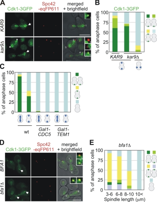 Activity of the MEN regulates binding of Cdk1 to SPBs. (A) Cdk1 does not associate with SPBs in cells with a misaligned anaphase spindle. KAR9 CDK1-3GFP SPC42-eqFP611 and kar9Δ CDK1-3GFP SPC42-eqFP611 cells grown in YPAD were synchronized with α-factor at 30°C and released at 37°C. The pictures in the right corner show enlargements of SPB signals. (B) Quantification of anaphase cells of experiment A with correctly or misaligned spindles. n > 200 cells per strain. (C) Cdc5 and Tem1 are required for Cdk1 localization to SPBs. α-Factor–synchronized wild-type, Gal1-CDC5, and Gal1-UPL-TEM1 cells were grown in YPD medium at 30°C to deplete Cdc5 and Upl-Tem1. Anaphase cells were analyzed for SPB localization of Cdk1-3GFP. n > 75 cells for each strain. (D) α-Factor–synchronized BFA1 CDK1-3GFP SPC42-eqFP611 and bfa1Δ CDK1-3GFP SPC42-eqFP611 cells were grown in YPAD medium at 30°C and examined in anaphase for colocalization of Cdk1-3GFP and the SPB marker Spc42-eqFP611. The pictures in the right corner show enlargements of SPB signals. (E) Quantification of D as illustrated in the figure. n > 80 anaphase cells were analyzed. Bars, 5 µm.