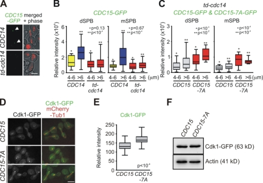 Cdc15 and Cdk1 show mutual regulation at the mSPB. (A) CDC14 and td-cdc14 cells harboring CDC15-GFP mCherry-TUB1 were examined for Cdc15-GFP localization in anaphase. The arrows highlight Cdc15-GFP at SPBs. Bar, 5 µm. (B and C) Anaphase cells of CDC14 CDC15-GFP, td-cdc14 CDC15-GFP, and td-cdc14 CDC15-7A-GFP were grown in YPAD and analyzed for GFP signal at SPBs. Quantified relative fluorescent intensities are summarized in box-and-whisker plots: boxes span between the 25th and 75th percentile with a line at the median; whiskers extend from the 10th to 90th percentile. P-values were calculated using unpaired t tests and indicate significant differences between * or ** marked bars. (B) n > 50 anaphase cells per strain. (C) n > 50 for CDC15-GFP cells and n = 24 for CDC15-7A-GFP cells. (D) CDC15 and CDC15-7A cells were grown in SC medium. Cells in anaphase were examined for Cdk1-GFP localization to SPBs. Bar, 5 µm. (E) Quantification of Cdk1-GFP signal at the mSPB. Relative fluorescent intensities in box-and-whisker plots as in B and C. n > 50 cells were analyzed per strain. (F) Cdk1-GFP protein levels measured with anti-GFP antibody and actin as loading control.