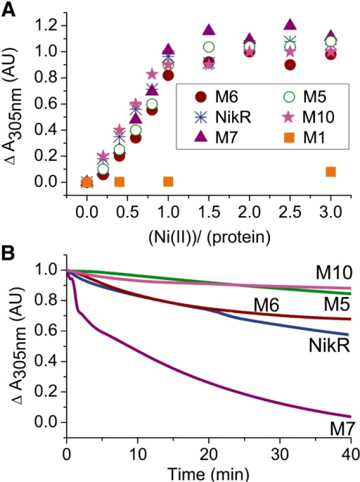 Ni(II) binding to NikR and M5, M6, M7 and M10 derivatives and kinetics of metal release for HpNikR and derivatives. (A) Comparison of the binding profiles of HpNikR, M5, M6, M7 and M10 determined by the changes in absorbance at 305 nm upon the addition of up to 3 equivalents of NiSO4. The presented data correspond to the difference in the absorption at 305 nm between the absorption spectra of the holo and apo forms for each protein. Data were collected at the equilibrium, 30 min after addition of NiSO4 to 200 µM of protein solution in HEPES 20 mM, pH 7.4. The results are homogenous (variation is <5%) and were reproduced at least three times with two different protein batches. (B) Comparison of the kinetics of Ni(II) release from HpNikR, M5, M6, M7 and M10. UV-visible absorption spectra were continuously measured for 1 h after EDTA addition. The changes in absorbance at 305 nm are presented as function of time after addition of 10 mM EDTA to a Ni(II)–protein complex with a 1 : 1 stoichiometry. Experiments were reproduced three times giving similar results.