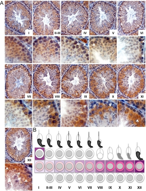RBM44 localizes in the cytoplasm and intercellular bridges at specific time points.A, Immunohistochemistry of 3-month-old mouse testes using anti-RBM44 antibody was examined by the staging of spermatogenesis in comparison with PAS staining in serial sections. The arrows denote examples of RBM44-positive intercellular bridges. B, Summary of RBM44 expression pattern in spermatogenesis. The intensity of RBM44 cytoplasmic staining is depicted diagrammatically in shades of pink. The degree of RBM44 localization to intercellular bridges is shown similarly in purple bars. Peak staining of intercellular bridges occurs in stage XII, while cytoplasmic staining is highest prior in stages IX-XI.